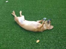 リアル人工芝の庭で遊ぶわんちゃん