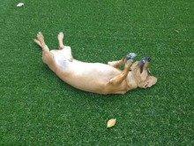 リアル人工芝で遊ぶわんちゃん