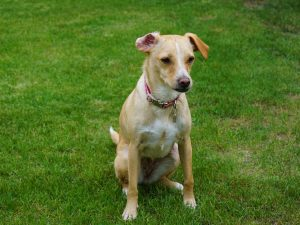 人工芝上の犬