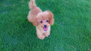 人工芝と犬